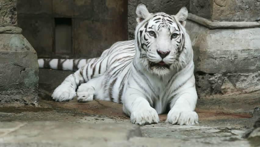 Hổ trắng quý hiếm ở vườn thú Moscow